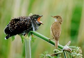 Cuckoo threatening a warbler