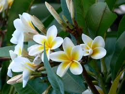 You may prefer a richer frangipani scent...?