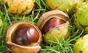 Fallen conkers from a horse chestnut tree