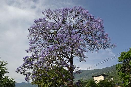 JacarandaTreeIndia