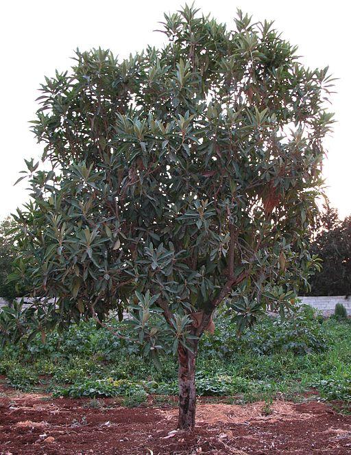 Loquat Eriobotrya_japonica_(Syria)